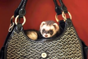 Ferrets and Other Pets